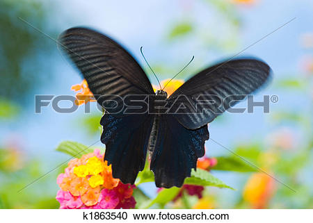 Stock Photography of Black Swallowtail Butterfly k1863540.