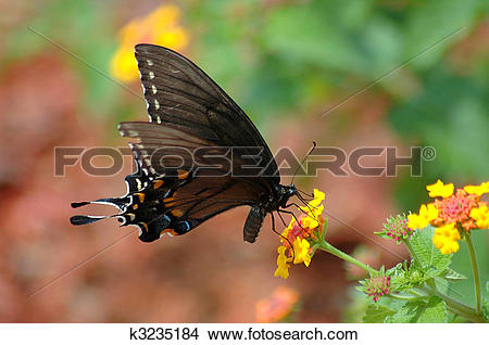 Stock Photo of swallowtail butterfly k3235184.