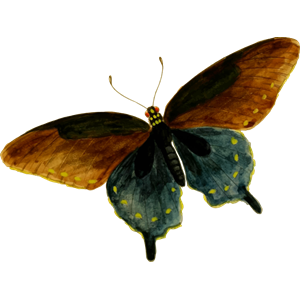 Pipevine swallowtail clipart, cliparts of Pipevine swallowtail.
