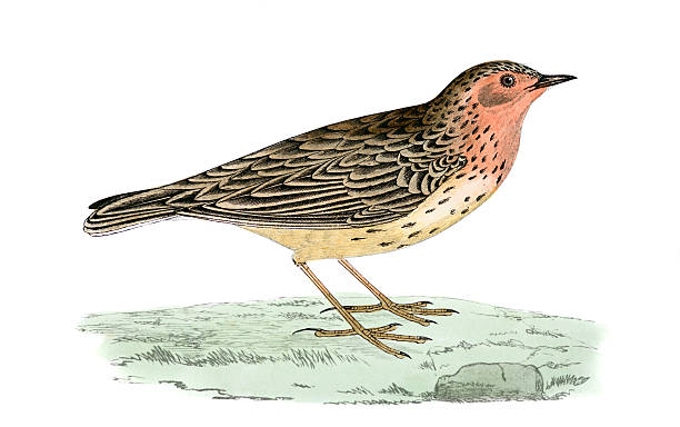 Red Throated Pipit Clip Art, Vector Images & Illustrations.