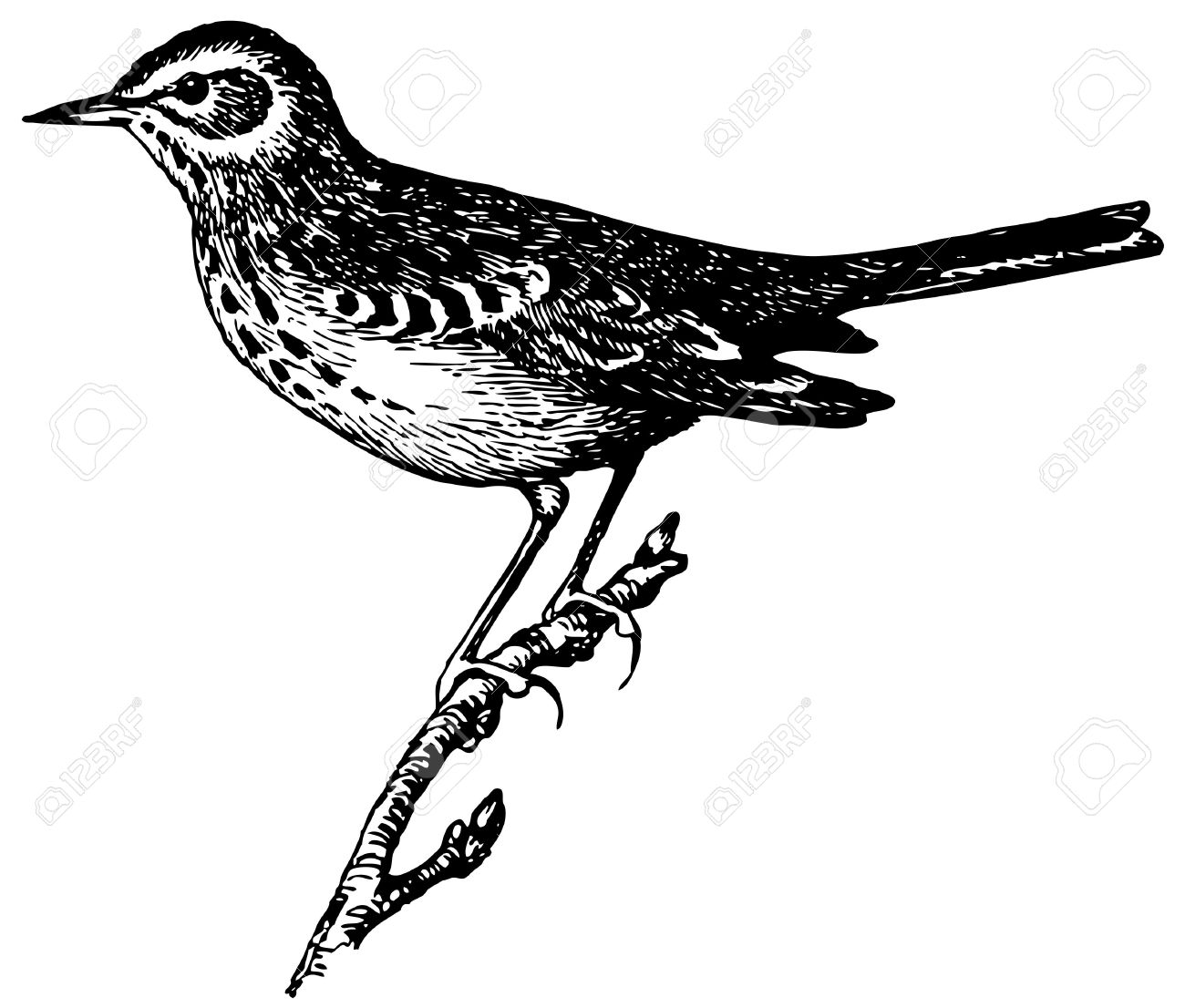 Bird Tree Pipit Royalty Free Cliparts, Vectors, And Stock.