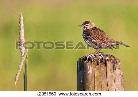 Stock Photography of Small bird pipit k2351560.
