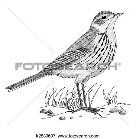 Stock Illustration of American Pipit k2830607.