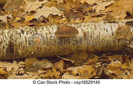 Stock Photo of Birch tinder fungus (Piptoporus betulinus.