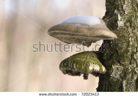 Piptoporus Stock Photos, Images, & Pictures.