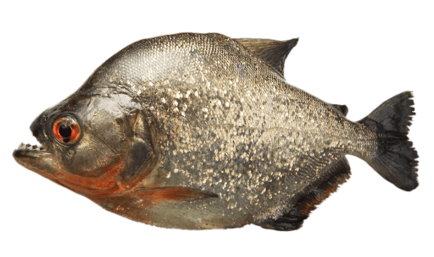 Grey Piranha transparent PNG.