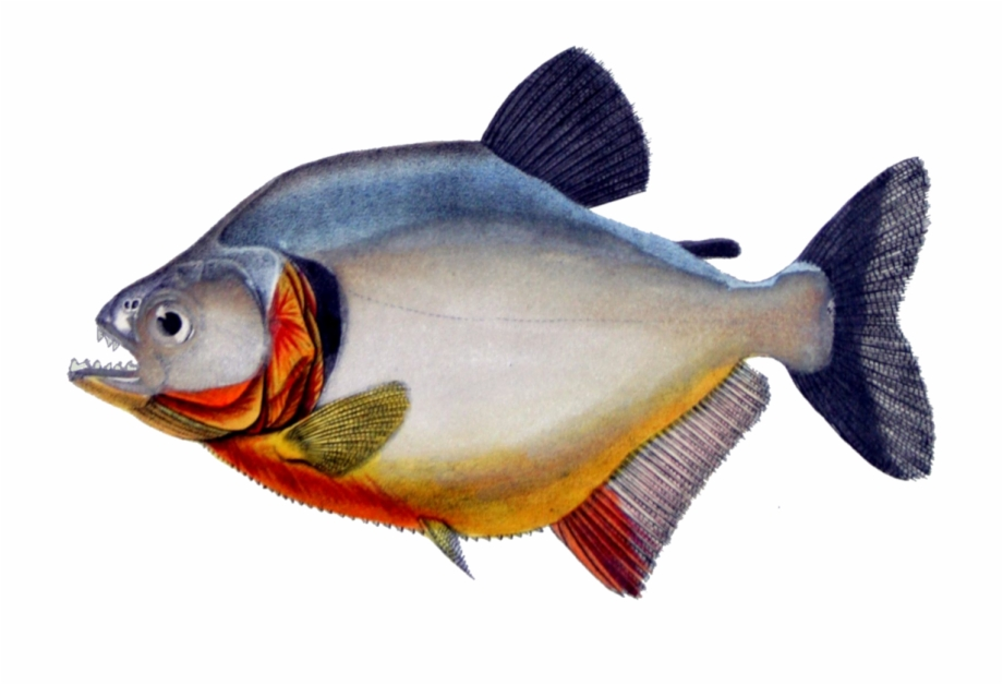Piranha Png Free PNG Images & Clipart Download #2150889.