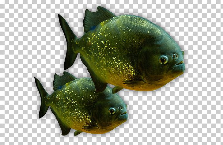 The Deep Aquariums Piranha Tropical Fish PNG, Clipart.