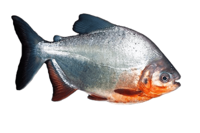Piranha transparent PNG.