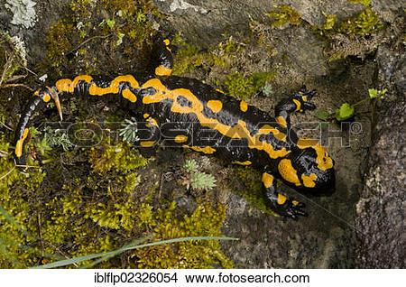 "Stock Photo of ""Fire Salamander (Salamandra salamandra), old adult."