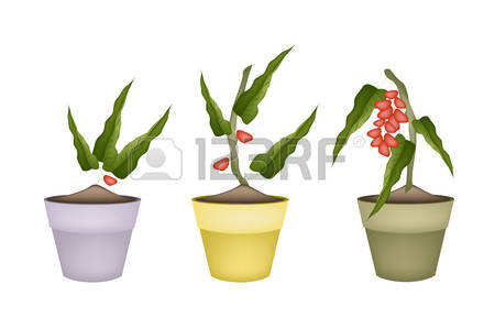 Pistachio Tree Stock Vector Illustration And Royalty Free.