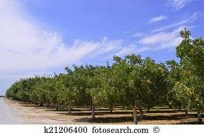 Pistachio tree Stock Photos and Images. 434 pistachio tree.