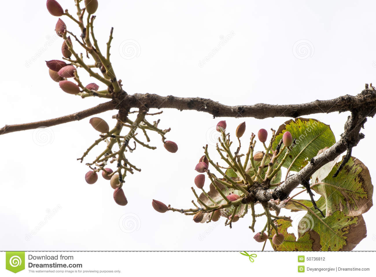 Pistachio Tree Branch Stock Photo.