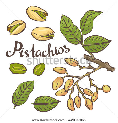 Pistachio Nuts Leaves Pistachio Tree Vector Stock Vector 330156269.