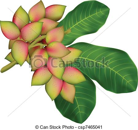 Vector Clip Art of Pistachio tree branch with fruits and leaves.