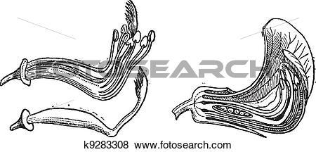 Clip Art of Pea or Pisum sativum, vintage engraving k9283308.