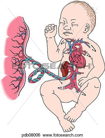Stock Illustration of Schematic drawing of placenta and fetus.