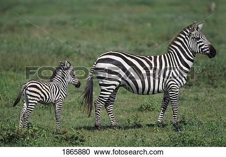 Stock Photography of Plains zebra mare with foal, Africa 1865880.