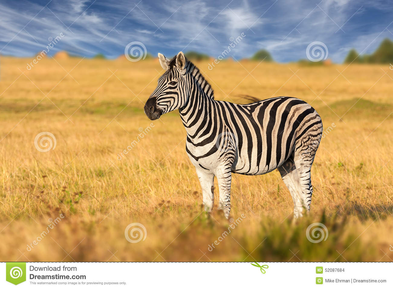 African Plains Zebra Standing Alone Stock Photo.