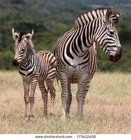 Cute Baby Plains Zebra Standing Next To It'S Protective Mother.