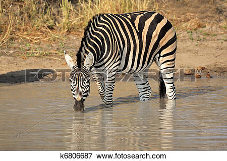 Picture of Plains Zebra drinking k6806687.