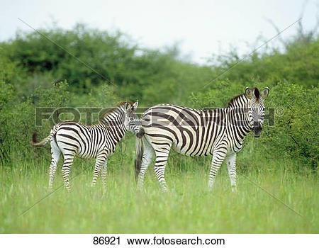 Stock Photography of Plains zebra mare with foal.