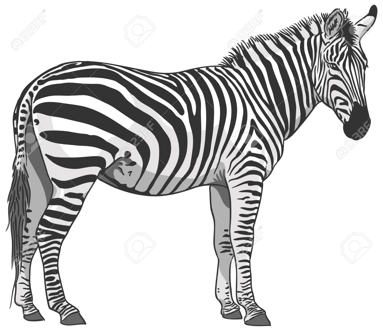 Isolated Plains Zebra Illustration Royalty Free Cliparts, Vectors.