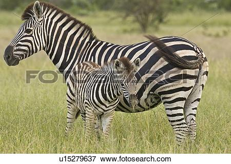 Picture of Mother and baby Plains Zebra, Greater Kruger National.