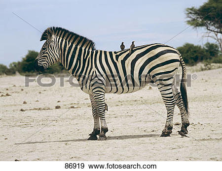 Stock Photograph of symbiosis: Plains Zebra with oxpeckers on its.