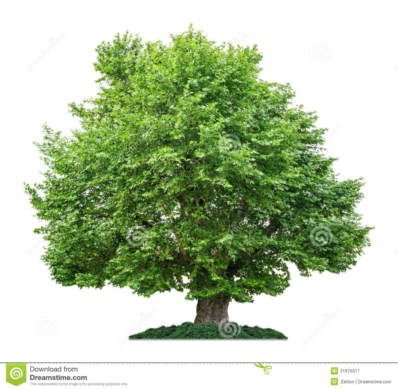 Isolated Plane Tree Stock Image.