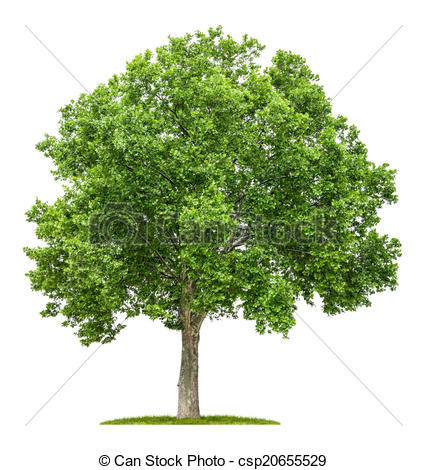 Clip Art of isolated plane tree on a white background csp20655529.