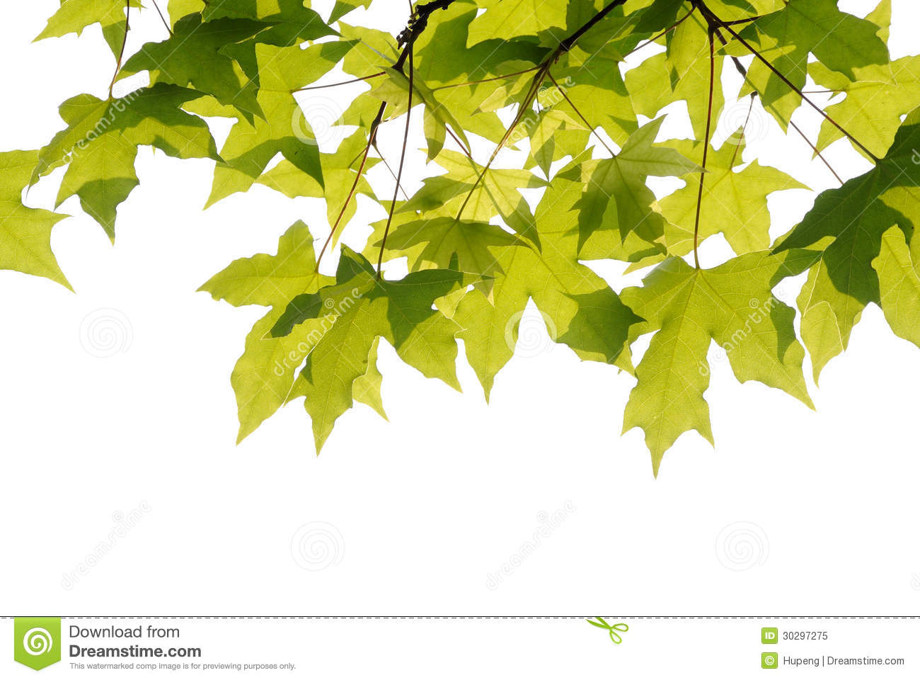 Plane Trees Leaves Royalty Free Stock Photo.