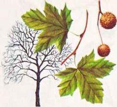 Street Tree: Nyssa sylvatica.