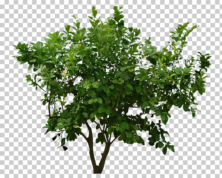 Shrub Tree , Plants File, green leafed plant PNG clipart.