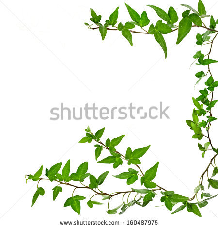 Green Ivy Plant Close Up Isolated On White Background Stock Photo.