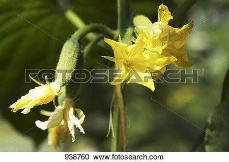 Stock Photography of Cucumber flowers on the plant (close.