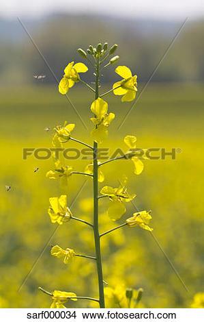 Stock Photo of Germany, Bavaria, Landshut, Rapeseed plant, close.