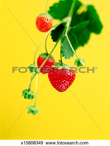Stock Photograph of Strawberry plant, close.