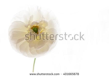 Against Background Daisy Flower White Stock Photos, Royalty.