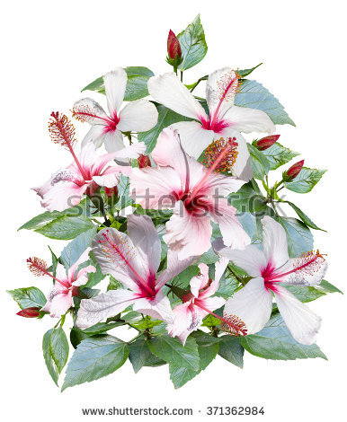 Photo Flower Soft White Stock Photos, Royalty.