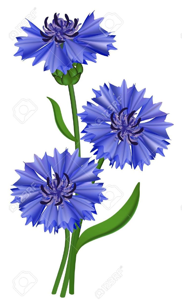 1000+ images about Cornflowers on Pinterest.