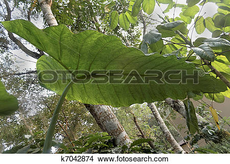 Stock Photo of Elephant Ear plant umbrella, Coorg, India k7042874.