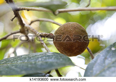Stock Photography of Sandalwood tree, popular ayurvedic plant.