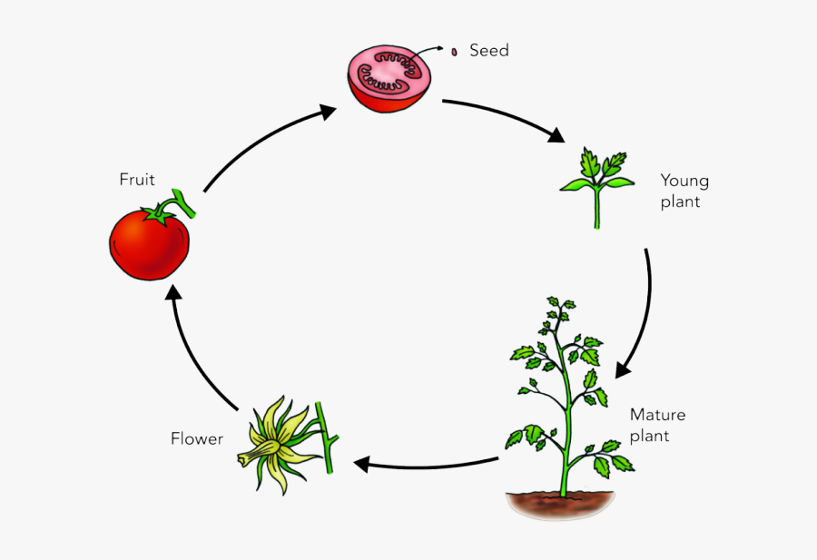 Seeds Clipart Plant Life Cycle.