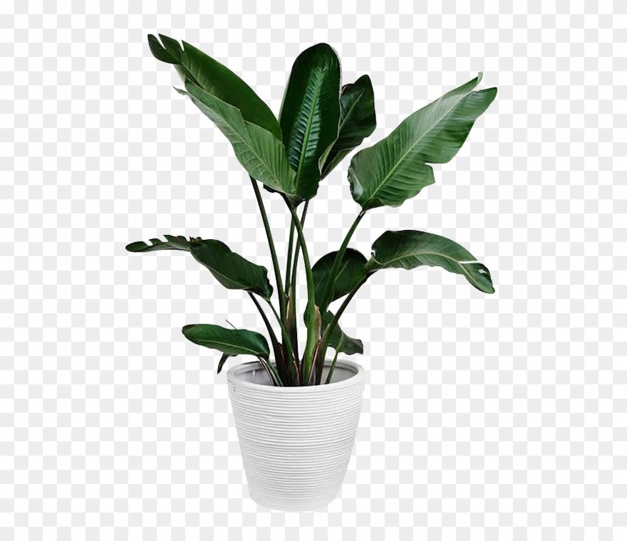 Plants Plant Leaf Arecaceae Palm Branch Green Clipart.