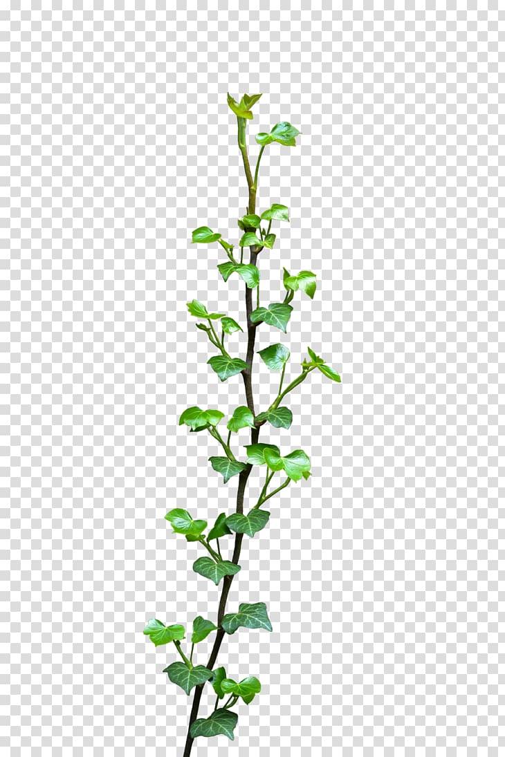 Common ivy Vine Plant , vines transparent background PNG.