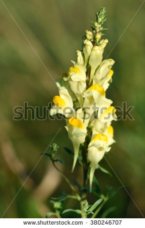 Plantaginaceae Stock Photos, Royalty.