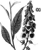 Plantaginaceae Clip Art.
