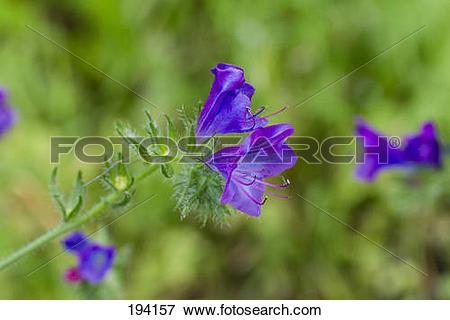 Picture of Purple Bugloss (Echium plantagineum), flowering.
