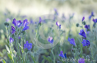 Echium Plantagineum, Commonly Known As Purple Viper's Bugloss Or.